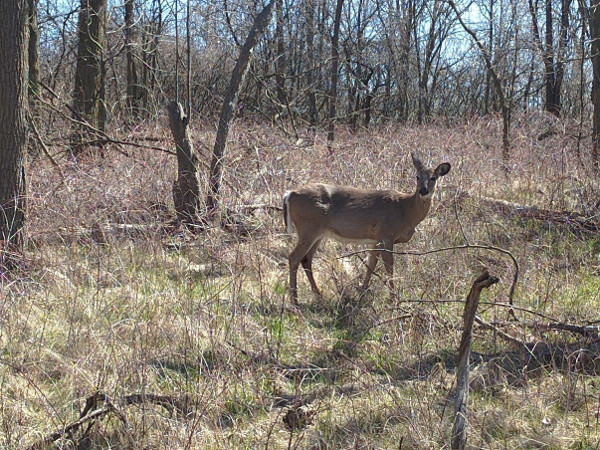 Deer on Iroquoia Heights Side Trail