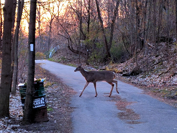 Deer crossing Radial Trail west of Chedoke Golf Course parking lot